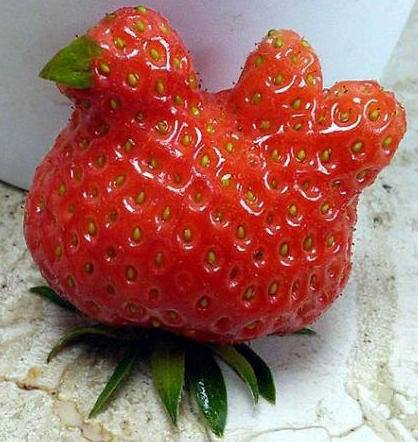 strawberry as chicken